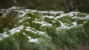 snowy-winter-pine-tree-branches-snow-free-stock-photo